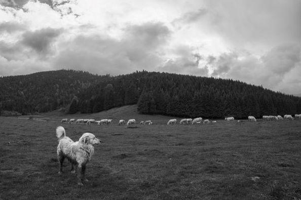 Le patou veille sur le troupeau
